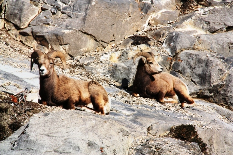 Big Horn Rams - Jasper National Park