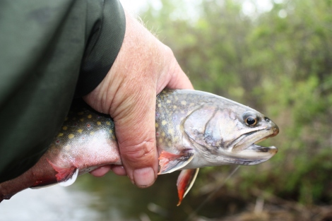 North Raven River Brook Trout