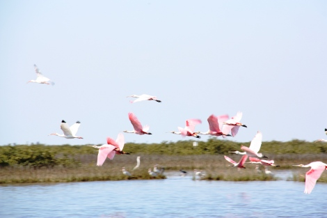 Spoonbills, Gulf of Mexico